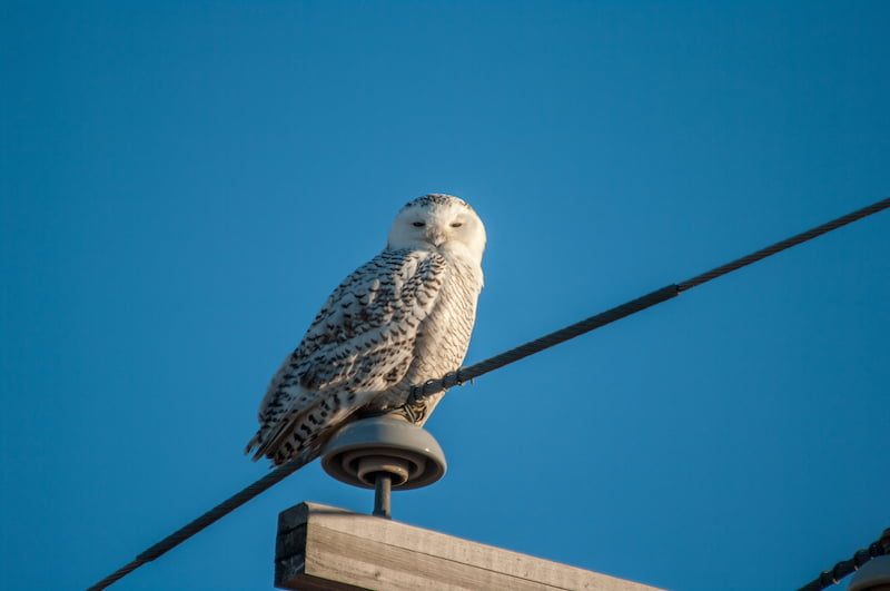 Snowy Owl, North of Assiniboia Saskatchewan
